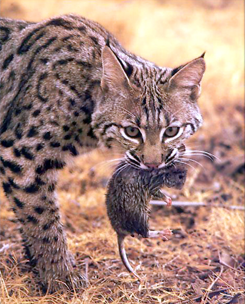 A Bobcat with his prey (a rodent) showing how toxoplasmosis infects a Feline. Image taken from: www.nearfantastica.spaces.live.com/blog/cns!8CA87
