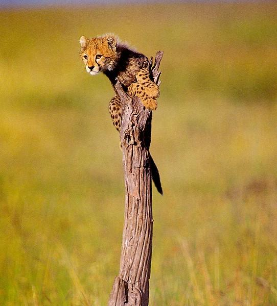 Cute Cheetah Cub On Tree